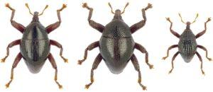 LIPI_ Serangga Baru_Sulawesi